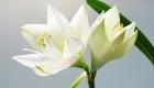 White lilies funeral flowers hearfelt tribute