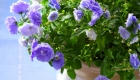 Campanula flowers in a planter