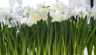 Paperwhite narcissus fresh flowers