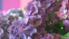 Purple Hydrangeas fresh flowers for Mothers Day
