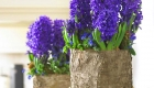Beautiful blue hyacinths in a bark planted container