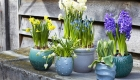 Beautiful display of spring bulbs in planters