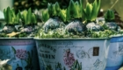Hyacinth bulbs in container