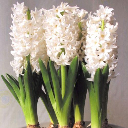 Hyacinth bulbs looking stunning in bloom