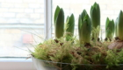 Hyacinth bulbs in a bowl