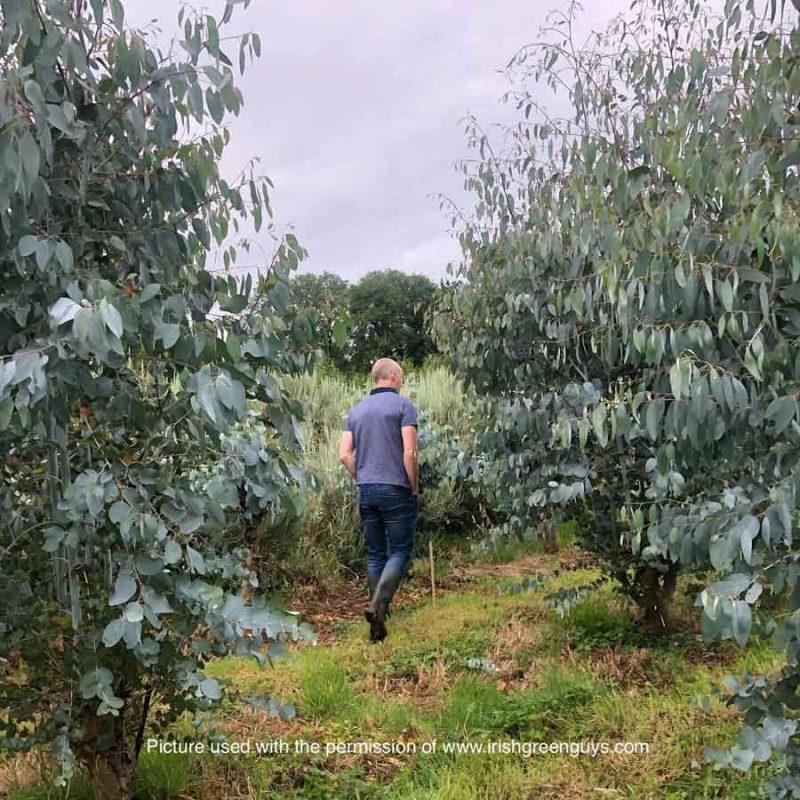 The eucalyptus field